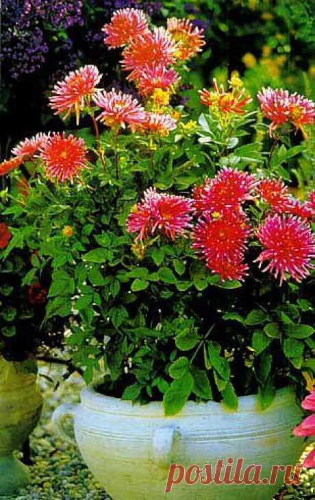 Желаю всем цветоводам успешного хранения корневищ и выращивания красивых георгин, особенно высокодекоративных сортов с многоцветной окраской соцветий!