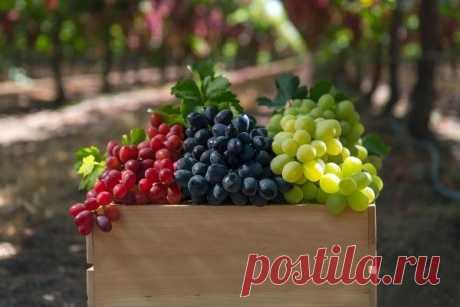 Технические сорта винограда: описание, фото, характеристики и агротехнические особенности Статья рассказывает о лучших технических сортах белого, розового и чёрного винограда. Рассмотрены их основные отличительные характеристики и показатели.