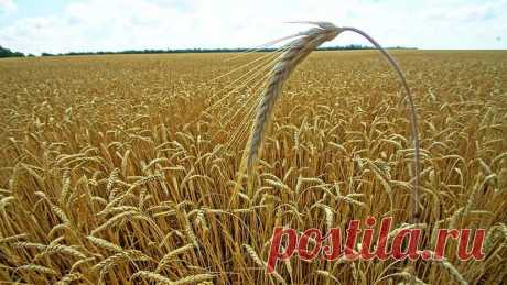 Россия может потерять статус лидера по экспорту пшеницы — Пром Бюро  По итогам сезона-2019/20 Россия может уступить странам Евросоюза мировое лидерство в экспорте пшеницы, пишет «Агроинвестор» со ссылкой на заявление президента Российского зернового союза (РЗС) Аркадия Злочевского.