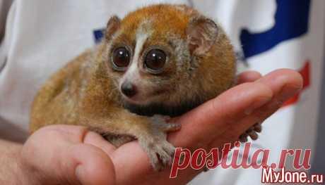 Крошка лори – гламурный «не лемур» - лори, ареал обитания, привычки, размножение, приручение, содержание, кормление, болезни