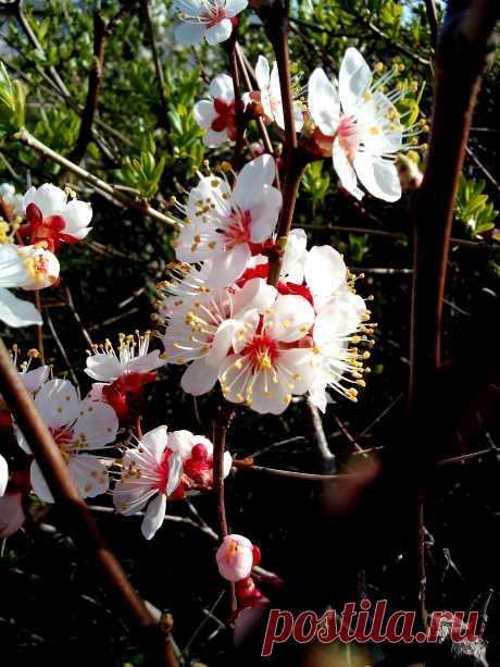 Цветы абрикосового дерева средь каких-то кустов