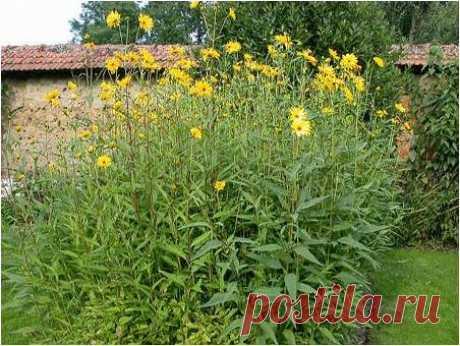 Целебное растение на даче — 6 соток
