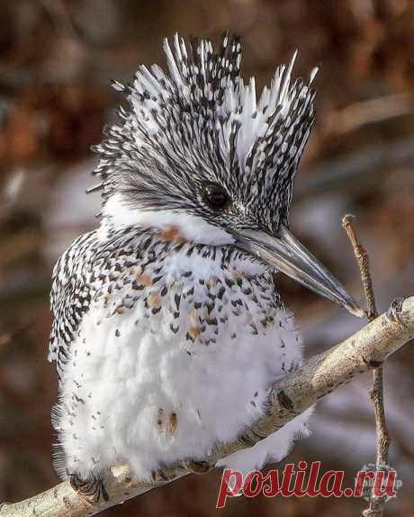 Чудо в перьях - пёстрый зимородок