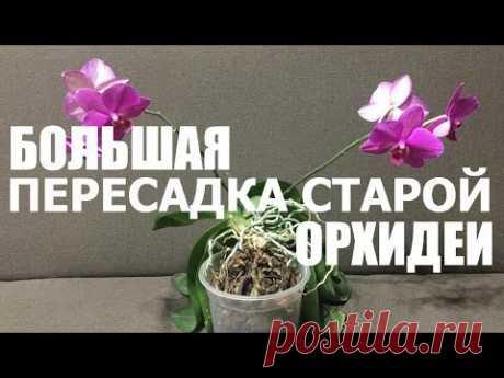 большая ПЕРЕСАДКА СТАРОЙ ОРХИДЕИ