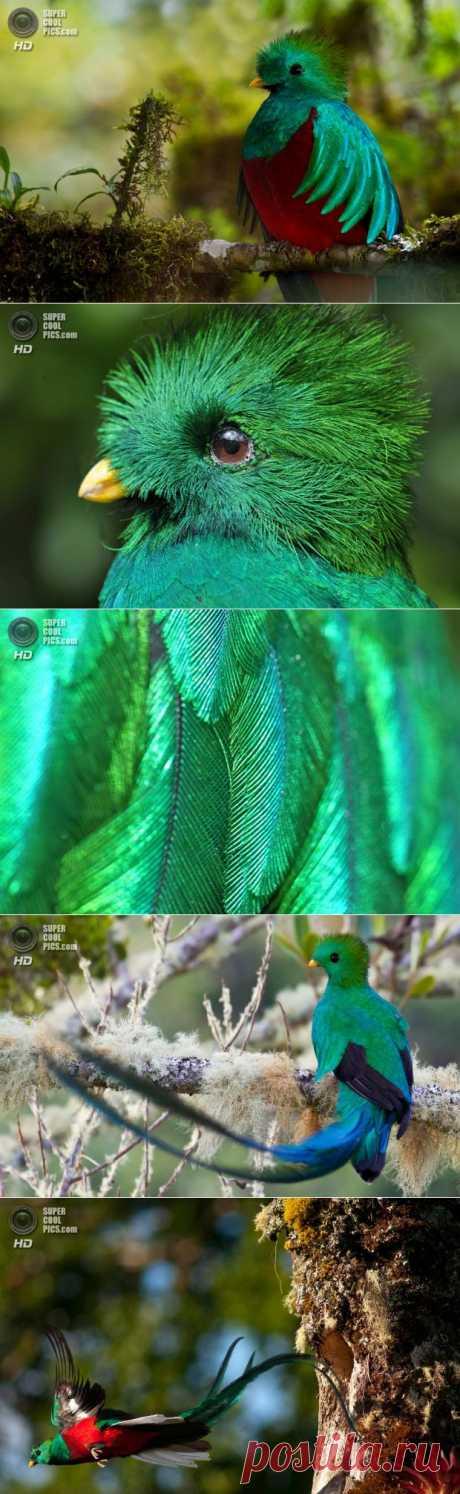 Квезаль — священная птица ацтеков | MirFactov — всё самое интересное!