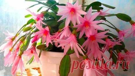 5 лучших подкормок декабриста для пышного цветения зимой | 6 соток