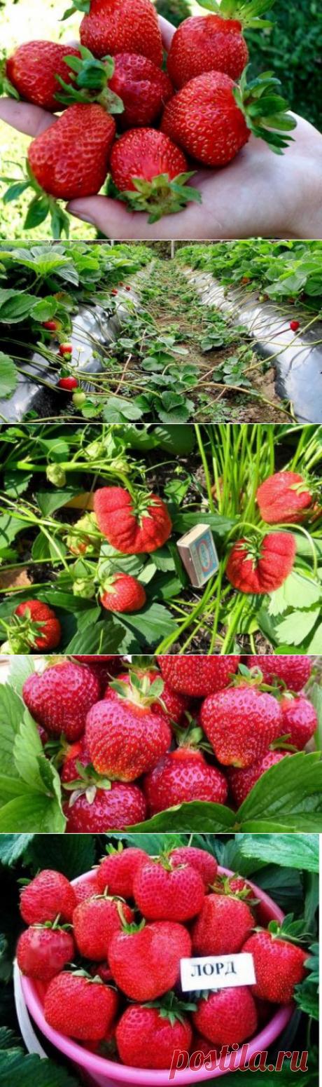 Клубника Лорд: описание сорта, характеристики садовой земляники