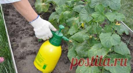 Чем подкормить огурцы для хорошего роста Мечтаете, чтобы огурцы хорошо росли и давали отличный урожай?