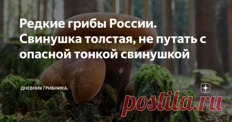 Редкие грибы России. Свинушка толстая, не путать с опасной тонкой свинушкой Свинушку толстую я впервые увидела в 2010, видимо любит этот гриб жару...  Вот любопытно, такое впечатление, что грибницы некоторых грибов, просто редких или нехарактерных для региона уже присутствуют в наших лесах и ждут своего часа. Говорят, что споры присутствуют, а при подходящих условиях - прорастают. Не очень похоже на правду, прорасти то они успеют, но  начать плодоносить - тут несколько лет...