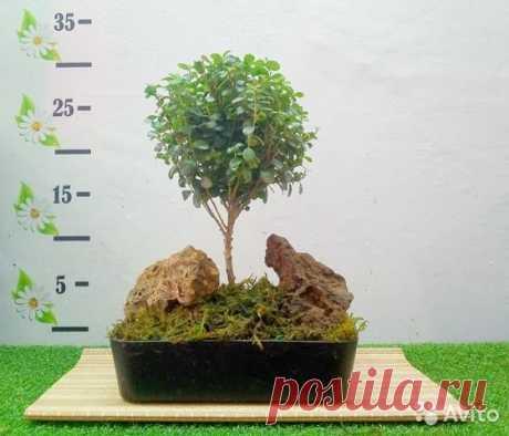 Бонсай - Карликовое дерево купить вЧелябинске | Товары для дома идачи | Авито