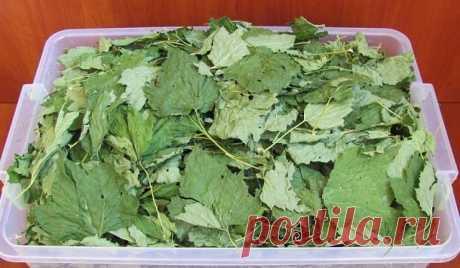 Каждый год заготавливаю смородиновые листья — это отличное лекарство для  почек и суставов. Ни ревматизма, ни подагры не будет! Большое количество витаминов С, К, Р делают чёрную смородину уникальной  для лечения и профилактики атеросклероза, особенно аорты. В этом сухом  перечне уникальное свойство чёрной смородины — стимулировать кору  надпочечников при нарушении их функции Аддисоновой болезнью, а ведь эти  нарушения нелегко наладить даже мощными гормональными средствами...