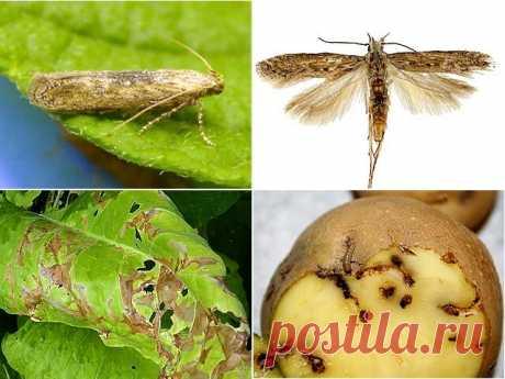 Как бороться с вредителями картофеля