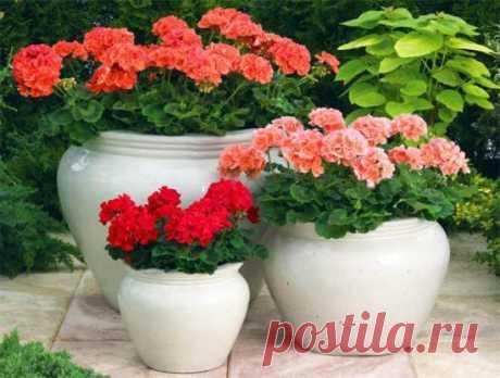 Пеларгония из семян выращивание в домашних условиях