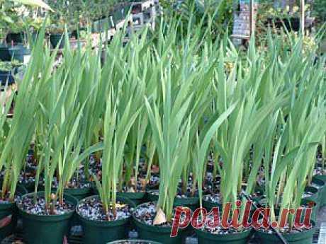 9 вопросов-ответов по выращиванию гладиолусов | Дача - впрок