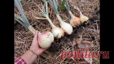 Как я подкармливаю лук народными средствами, чтобы урожай был 400 кг с сотки   Урожайный огород   Яндекс Дзен