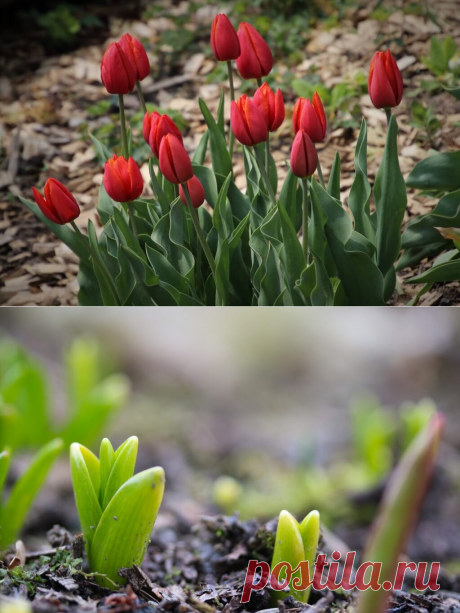 Тюльпаны: уход и выращивание в открытом грунте | 4womans.life Перед посадкой необходимо подготовить участок за 1-2 месяца. Перед тем, как перекопать участок, необходимо внести на глубину ...