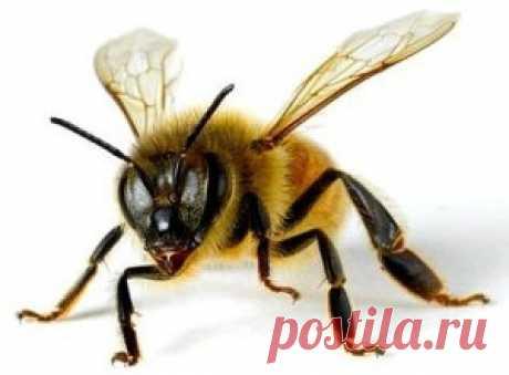 Пчелиный подмор настойка на водке: прием, рецепты, противопоказания - Сайт о методах лечения докторов Неумывакина, Болотова, Огулова. Лечение нетрадиционными методами(фитотерапия, апитерапия, перекись, сода и другое) Совсем недавно на одном форуме пчеловодов велась дискуссия о пчелином подморе. Многие знакомы с этим удивительным целебным средством, но не все знают, как правильно приготовить лекарство и как его принимать. Настойка на спирту подмора пчелиного является само...