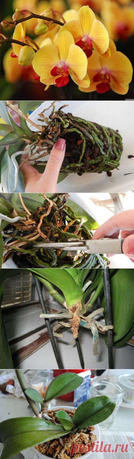 Оживляем уцененные Орхидеи | Волшебство на подоконнике | Яндекс Дзен