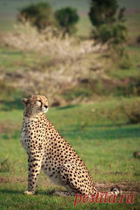 «Ну разве я не хорош?» Утро в Масаи-Мара, Кения. Автор фото – Соня Руденко: nat-geo.ru/photo/user/38107/
