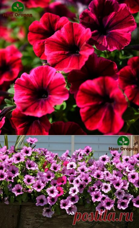 Важные шаги к пышному цветению петунии: не пропустите | НАШ ОГОРОД | Яндекс Дзен