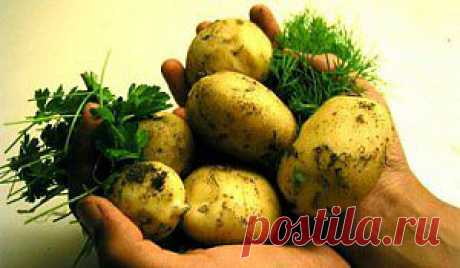 От чего зависит вкус картошки? | Домохозяйки