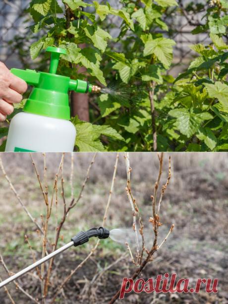 Обработка смородины содой весной: зачем и как это делается | Огородные шпаргалки | Яндекс Дзен