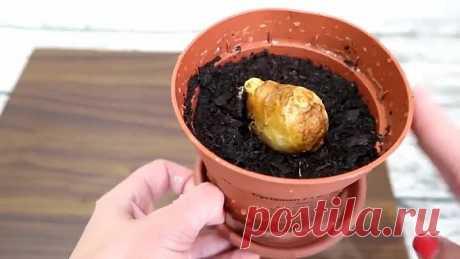 Вырастить имбирь на подоконнике или на дачном участке очень легко!