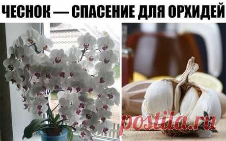 ¡EL AJO — EL SALVAMENTO PARA LAS ORQUÍDEAS! EN UN MES MI FALENOPSIS HA PRODUCIDO POCO …\u000a\u000aLa utilidad del ajo para el organismo humano sabe hasta el colegial. Pero no todos los posesores epifitnyh de las orquídeas saben que esta planta bulbosa puede muy positivamente influir sobre el crecimiento de sus pupilos verdes. En particular, el ajo ayuda estimular el florecimiento pomposo falenopsisa\u000a\u000aPara conseguir el efecto semejante, nuestra redacción aconseja a los lectores queridos preparar la mezcla especial del molledo de ajo, en...