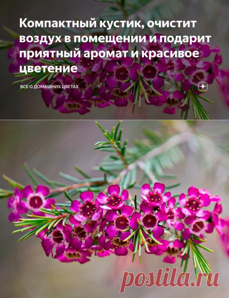 Компактный кустик, очистит воздух в помещении и подарит приятный аромат и красивое цветение | Все о домашних цветах | Яндекс Дзен