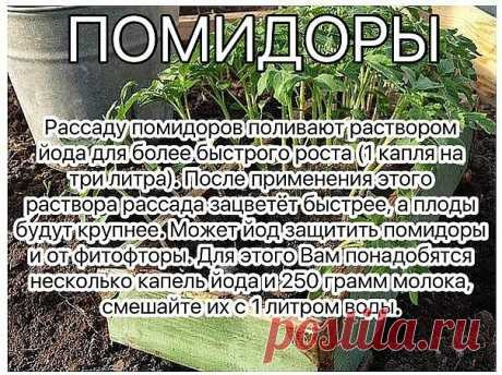 Раствор - одна капля йода на три литра воды, этим йодным раствором надо один раз полить рассаду томатов. От этого увеличиться продуктивность и будут побольше плоды.   От фитофторы - каждые 2 недели опрыскивать помидоры раствором молока с йодом.  Раствор для опрыскивания: На 10 литров воды добавить литр молока и 15 капель йода. Получившимся раствором обильно опрыскивать помидоры (так, чтобы с кустов текло).