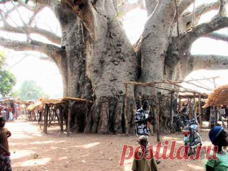 Чудеса природы, деревья необычной формы фото