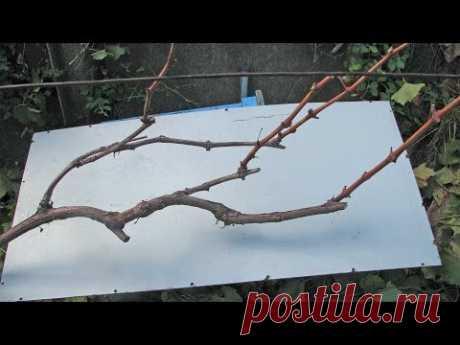 Del pedazo de la uva en otoño. La preparación de la uva para el invierno
