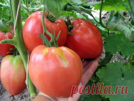 Томат Вельможа - описание сорта, фото, урожайность, отзывы огородников
