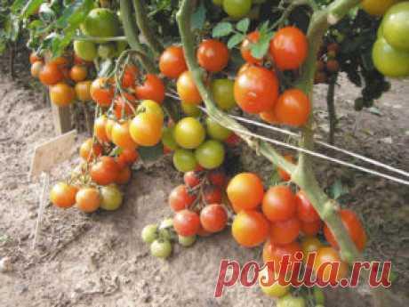 Мои заповеди выращивания томатов!