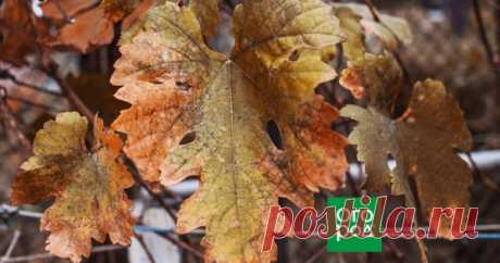 5 дел, которые необходимо сделать с виноградом в октябре Октябрь – важный для виноградарей месяц. В это время в винограднике необходимо провести несколько очень важных процедур: обработать лозу от болезней и вредителей, подкормить ее, провести предзимний полив и обрезать.