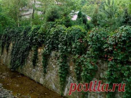 Плющ и девичий виноград — самые популярные «зелёные стены»