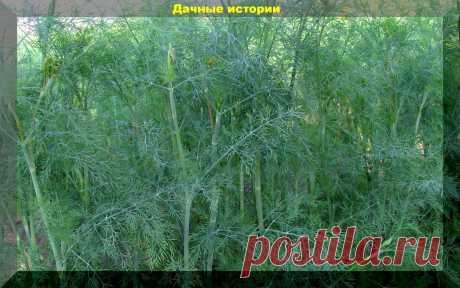 Укроп как сидерат и средство защиты посадок от болезней и вредителей | 6 соток