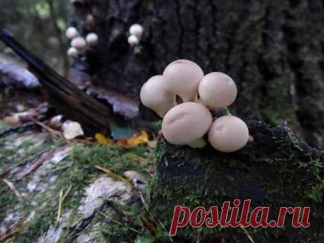 5 недооценëнных грибов, которые в России повсюду: их не собирают, а зря | Природа Северо-Запада | Яндекс Дзен