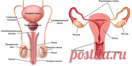 Репродуктивная система человека — Википедия