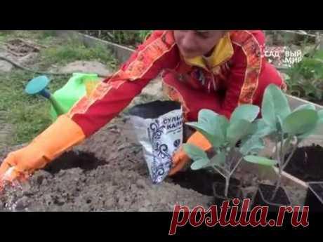 """Как сажать капусту. Сайт """"Садовый мир"""" - YouTube"""