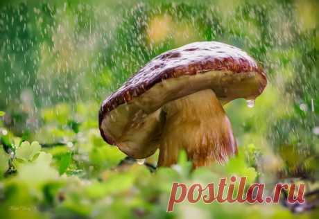 Боровик под дождем. Автор фото — Юрий Котов: nat-geo.ru/photo/user/296973/