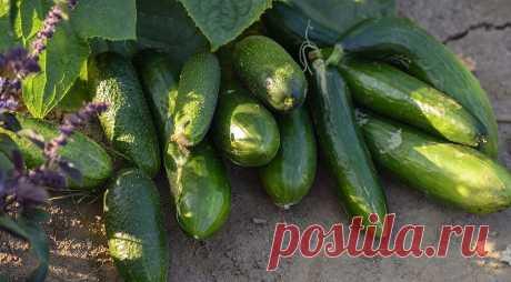 Какие культуры можно сажать после огурцов: 7 растений, которые дадут лучший урожай