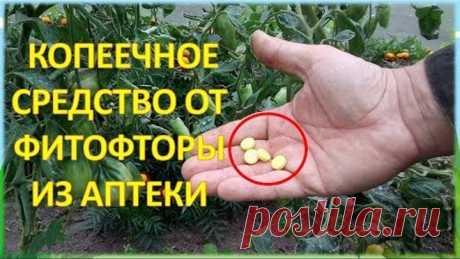За ВОСЕМЬ рублей обработал от болезней ДВЕ теплицы с огурцами и томатами!!!