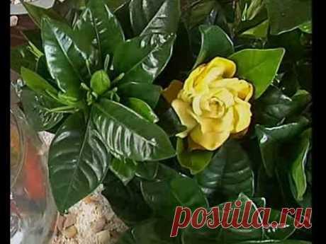 Los secretos de la cultivación de la gardenia - el proyecto Acertado - Inter