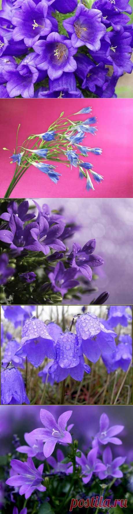 фото цветы колокольчики: