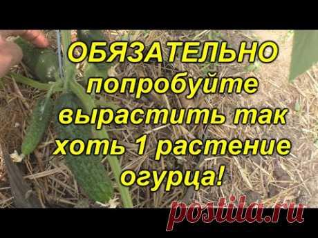 Огурцы будут самыми ранними - проверенный способ посадки!!!(попробуйте!)