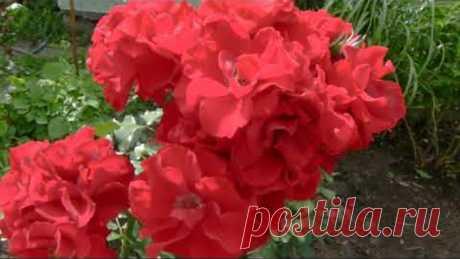 Осень!!! А у меня чистые кусты роз!!! Важные дела в розарии .