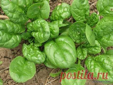 Как выращивать шпинат?