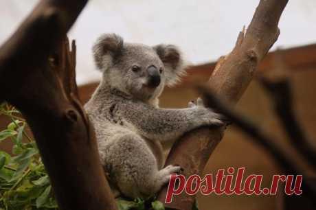 Забавное видео: семья австралийцев обнаружила на украшенной елке живую коалу