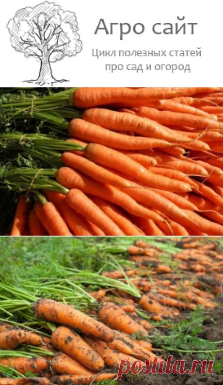 Выращиваем морковь у себя на огороде